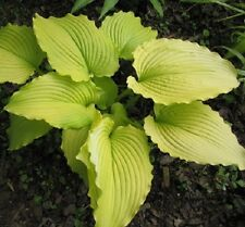 Dancing Queen Hosta Plant Buy Any 5 Get One Free Spring Ship