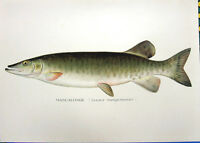 MUSKY MUSKIE MUSKELLUNGE Pike 1895  DENTON GAME FISH Fisherman Art Print