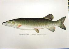 MUSKY MUSKIE MUSKELLUNGE Pike 1895 Sherman DENTON Freshwater GAME FISH Art Print