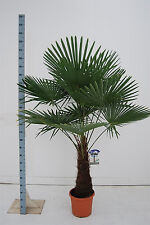 Chinesische Hanfpalme  140-160 cm Trachycarpus fortunei winterharte Palme