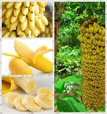 100+ Fresh Musa Acuminata edible Dwarf Banana tree plant seeds tropical fruit5