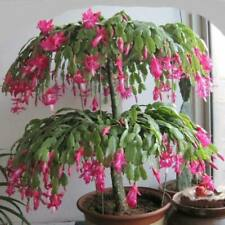 Usa Seller 25 Seeds Christmas Cactus Flowering Tree Garden Plants