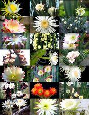 FLOWERING CEREUS CACTUS MIX, rare garden night cacti exotic desert seed 20 seeds