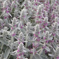 STACHYS LANATA SEEDS (Stachys byzantina, Lamb's Ear) 100 seeds