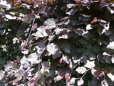 1 Copper Purple Beech Hedging 40-60cm Beautiful Strong 2yr Old Plant 1-2ft