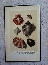 SHELLS beach ENCRUSTATION ocean SAND shell coral SEA antique VINTAGE PRINT #22