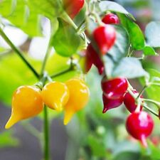 BIQUINHO CHILLI COLLECTION RED+YELLOW VARIETIES MILD SMOKY FLAVOUR 10 SEEDS