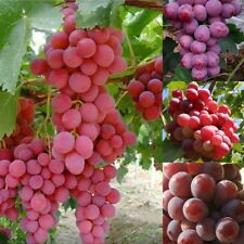 13 Grape Fruit seeds Giant Red Globe Vine Fruit Plant Red Grapes Garden Home