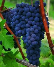 45 CUTTINGS OF ASSORTED GRAPE VINE VARIETIES - MIX AND MATCH -UNROOTED