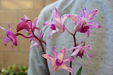 Australian Dendrobium Kingianum Orchid - Fragrant! Blooming Size Plant -3