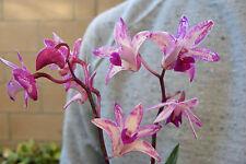 Australian Dendrobium Kingianum Orchid - Fragrant! Blooming Size Plant -S2