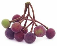 Berry Sherbet Live Plant Grewia Asiatica 3-Inch Deep Pot Garden