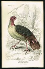 1840 Nepal Partridge, Francolinus Cruentatus, Hand-Colored Antique Print