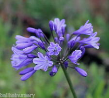 3 New Agapanthus Catharina dark blue flowers excellent garden plant