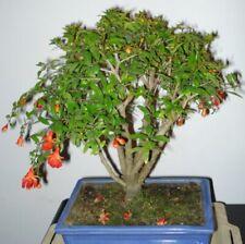 i! Granatapfel - BAUM !i Obst-und Blüten Samen Zierbaum in Bonsai grösse Balkon.