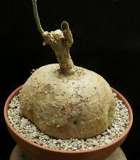 3x Adenia fruticosa Caudex Samen Pflanze Saatgut Winterhart Neu Garten B523