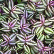 10 Wandering Jew Tradescantia Zebrina Plant Cuttings Purple plant