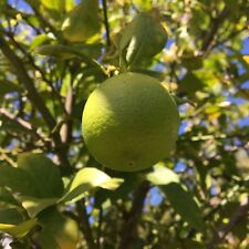 10+ Key Lime organic citrus seeds, farm fresh, ready to grow for Corona beer