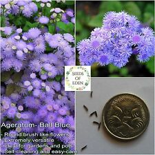 50 AGERATUM BALL BLUE SEEDS (Ageratum houstonianum); Attracts butterflies