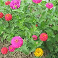 Zinnia 120 Seeds Gold Medal Mix Easy to Grow Annual Flower Heirloom Super Fresh