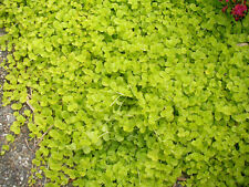 1 Touffe de lysimachia nummularia aurea plante aquarium