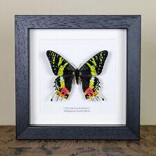 Madagascan Sunset Moth in Box Frame (Chrysiridia rhipheus) Butterfly Frame