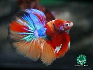 Galaxy Halfmoon male betta #0700 / 3.2 mo / size m / very nice form and colors