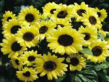 50 Sunflower Seeds Valentine Helianthus Seeds Dwarf Sunflower