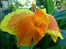 ( 3 ) - Canna Lillies -  Canna Roma Lily / Rhizomes Yellow / Living plant