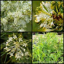 8 Grevillea Flat Jack Native Groundcover Garden Pot Plant Hardy Shrubs curviloba