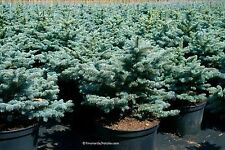 Blaue Stechfichte Picea pungens glauca 200 Samen MENGENRABATT !!!