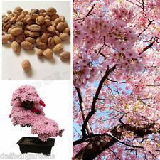 Cherry Blossom Bonsai Tree, Sakura Fower, Beautiful Pink, 10 Seeds