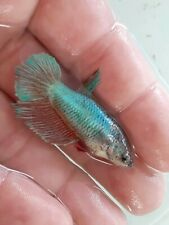 New listing betta fish live female green and red hmpk Full egg #16 (Imported from thailand)
