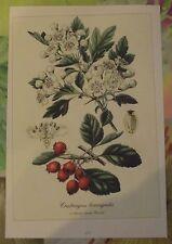 Ancienne Planche Botanique d'après Gaston Bonnier Aubépine