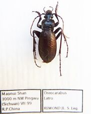Carabus oreocarabus latro (male A1) from CHINA (Carabidae)