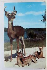 Animal Deer Buck Walks Up to Survey Postcard Old Vintage Card View Standard Post