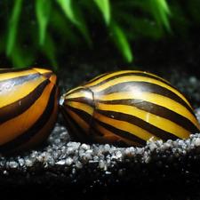 Zebra Nerite Snail Freshwater Aquarium Pond Algae Eating Planted Tank