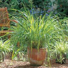 400Pcs/Bag Fast Grow Lemon Grass Herb Seeds Ornamental Cymbopogon Fragrant Plant