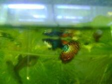 New listing 15 Assorted Mosaic Guppies Dumbo Dragon Black Golden Blue Lace Cobra