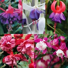 6  Hardy Fuchsia Mixed Collection  Perennial Basket Patio Plug Plants