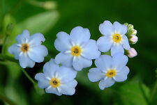 Water Forget Me Not Plant Aquatic Fish Pond Live Plant Marginal Bog