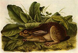 Jack Rabbit 22x30 John James Audubon Art Print Hand Numbered Ltd. Edition