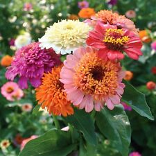 ZINNIA Scabiosa Flowered Mix Seeds (F238)