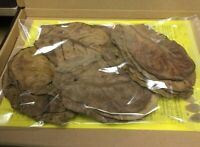 20 Seemandelbaumblätter  Catappa Leaves 10-15cm ★ Spitzenqualität ★ Blitzversand