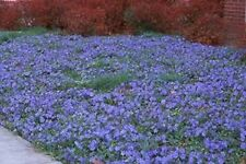 20 LIVE EVERGREEN Vinca minor Periwinkle Myrtle GROUND COVER w/ Blue Flowers