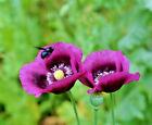 ~300/6000 Graines de Pavot Bleu Violet Hongrois 90cm Fleur Sauvage Papaver