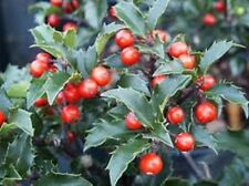 China Girl Holly, shiny evergreen w/berries, 100 plants, FREE shipping