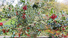HOLLY TREE/BUSH/HEDGE ILEX AQUAFOLIUM 15 SEEDS