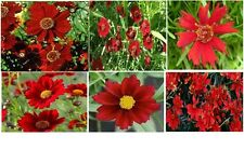 Red Dwarf Coreopsis Annual Flower   50  Seeds