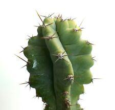 Cereus Peruvianus Form Kikko 28cm Nxp Selected slightly yellow On Top